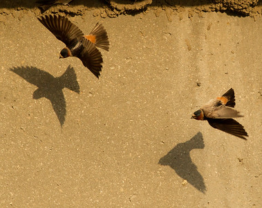 Cliff Swallow San Luis Rey Oceanside 2012 05 18 (2 of 9).CR2