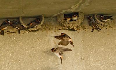 Cliff Swallow San Luis Rey Oceanside 2012 05 18 (5 of 9).CR2