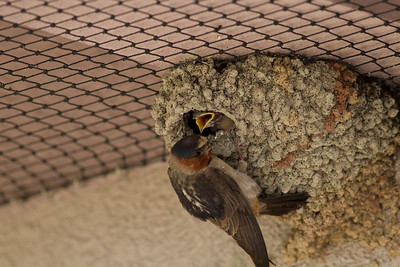 Cliff Swallows Mono Lake 2011 07 15-6.CR2