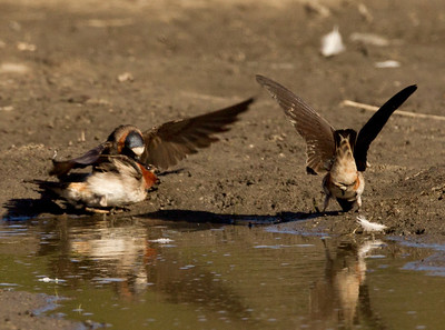 Cliff Swallows San Dieguito Lagoon 2011 06 05-2.CR2