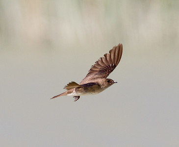 Northern Rough-winged Swallow Klondike Lake 2016 08 16-2.CR2
