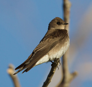 Northern Rough-winged Swallow  Diaz Lake Lone Pine 2013 04 23 (1 of 3).CR2-2.CR2