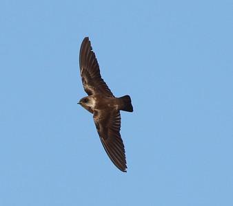 Northern Rough-winged Swallow  San Luis Rey River Oceanside  2012 04 26.JPG-2.JPG