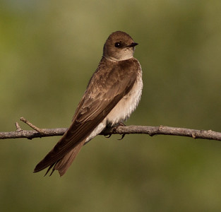 Northern Rough-winged Swallow San Luis Rey River 2011 05 25-3.CR2-1.CR2