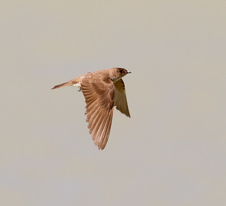 Northern Rough-winged Swallow Klondike Lake 2016 08 16-1.CR2
