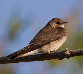 Northern Rough-winged Swallow  Diaz Lake Lone Pine 2013 04 23 (1 of 3).CR2-1.CR2