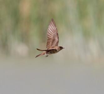 Northern Rough-winged Swallow Klondike Lake 2016 08 16-3.CR2