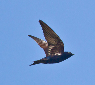 Purple Martin  Mt. Palomar 2012 06 07 (3 of 5).CR2