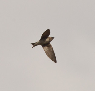 Purple Martin  Mt Palomar 2013 06 09 (3 of 5).CR2
