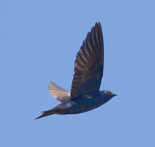 Purple Martin  Mt. Palomar 2012 06 07 (2 of 5).CR2