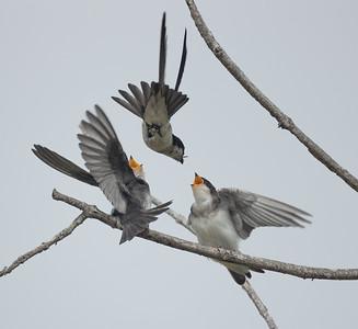 Tree Swallow Aviara 2021 06 03-221.CR3