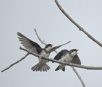 Tree Swallow Aviara 2021 06 03-224.CR3