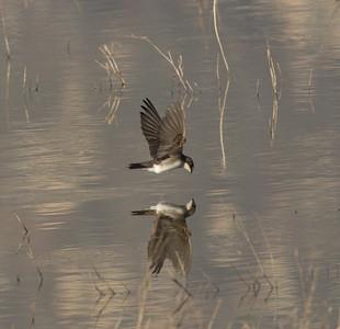 Tree Swallow  San Jacinto Wildlife Area 2014 03 15-6.CR2