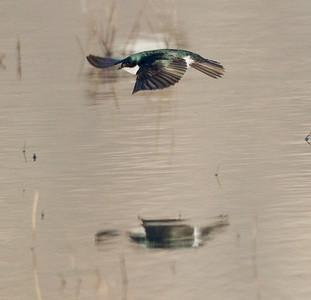 Tree Swallow  San Jacinto Wildlife Area 2014 03 15-2.CR2