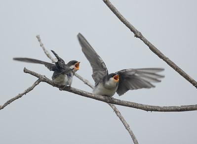 Tree Swallow Aviara 2021 06 03-220.CR3