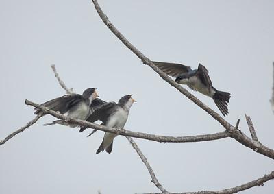 Tree Swallow Aviara 2021 06 03-225.CR3
