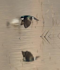 Tree Swallow  San Jacinto Wildlife Area 2014 03 15-1.CR2