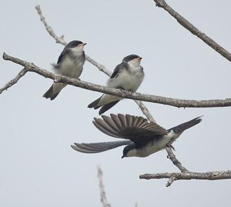 Tree Swallow Aviara 2021 06 03-227.CR3
