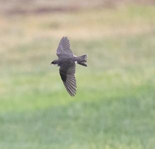 Tree Swallow Aviara 2021 06 08-216.CR3