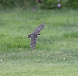 Tree Swallow Aviara 2021 06 08-218.CR3