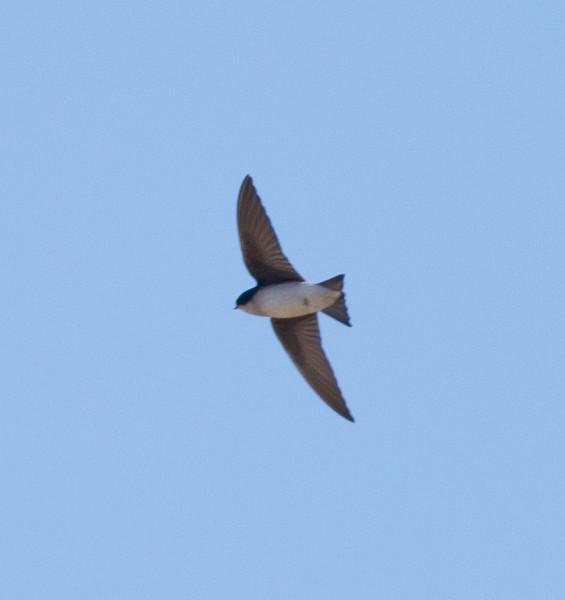 Tree Swallow near Bishop  2012 01 11 (2 of 2).CR2