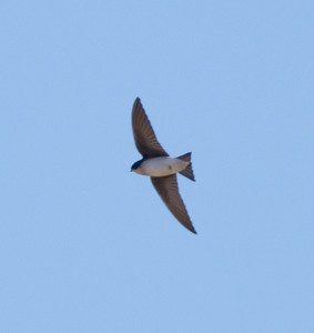 Tree Swallow near Bishop  2012 01 11 (2 of 2).CR2