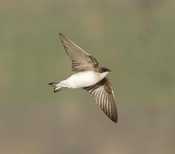Tree Swallow  San Jacinto Wildlife Area 2014 03 15-5.CR2