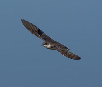 Tree  Swallow  Owens Lake 2013 08 17 (7 of 8).CR2