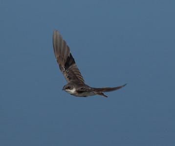 Tree  Swallow  Owens Lake 2013 08 17 (6 of 8).CR2