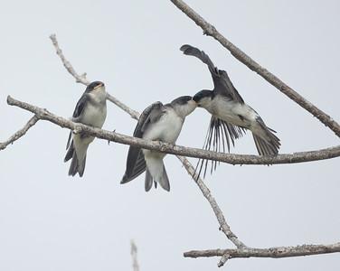 Tree Swallow Aviara 2021 06 03-226.CR3