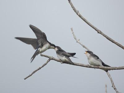 Tree Swallow Aviara 2021 06 03-217.CR3