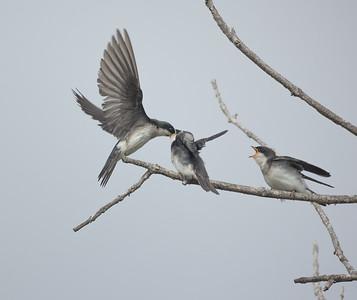 Tree Swallow Aviara 2021 06 03-216.CR3