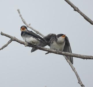 Tree Swallow Aviara 2021 06 03-223.CR3