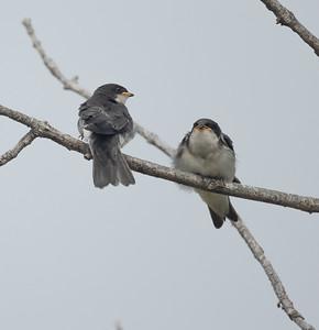 Tree Swallow Aviara 2021 06 03-222.CR3
