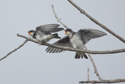 Tree Swallow Aviara 2021 06 03-218.CR3