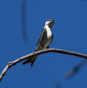 Violet-green Swallow   Cuyamaca Lake 2014 06 09-2.CR2