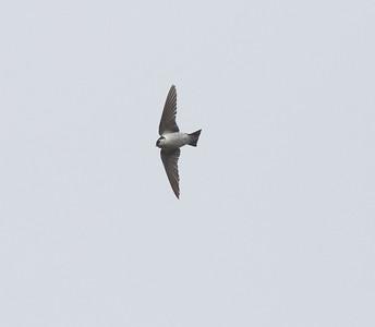 Violet-green Swallow Encinitas 2020 06 14-3.CR2
