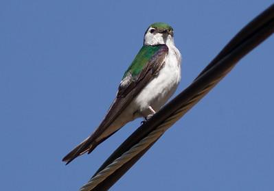 Violet-green Swallow Virginia Lakes 2015 06 27-2.CR2