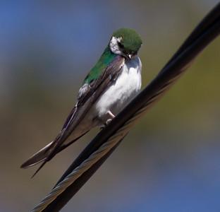 Violet-green Swallow Virginia Lakes 2015 06 27-3.CR2