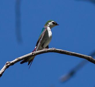 Violet-green Swallow   Cuyamaca Lake 2014 06 09-1.CR2