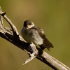 Violet-green Swallow  Tom`s Place California 2013 07 17 (1 of 3).CR2