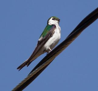 Violet-green Swallow Virginia Lakes 2015 06 27-1.CR2
