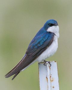 Swallow in Montana