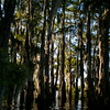 The Boy Scouts of America Swamp Base docked several houseboats in a large grove of cypress trees in the Atchafalaya River Basin near Henderson, LA, Tuesday, July 1, 2014. <br /> <br /> Paul Kieu, The Advertiser