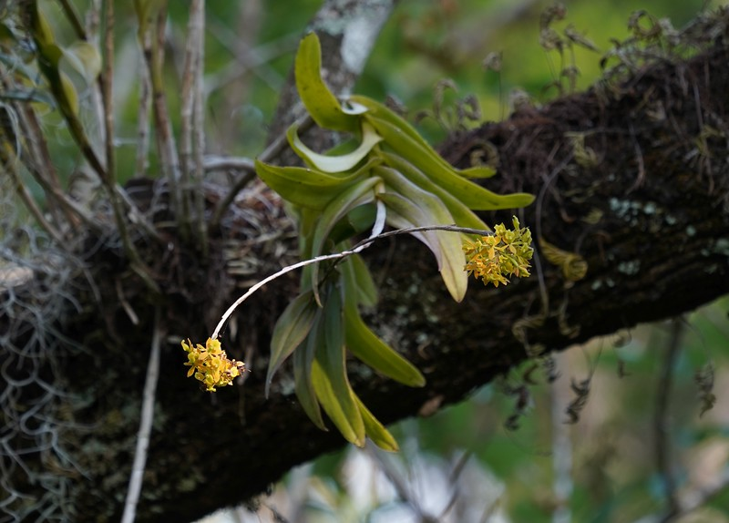 Dingy-flowered Star Orchid
