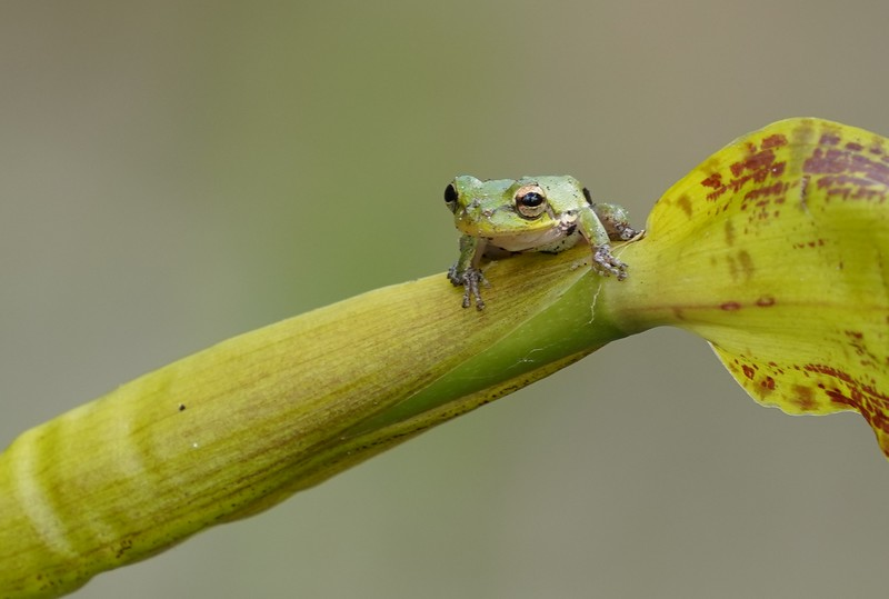 Squirrel Tree Frog on Cigar Orchid
