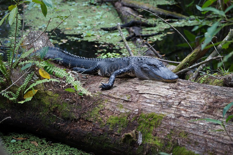 American Alligator on fallen cypress