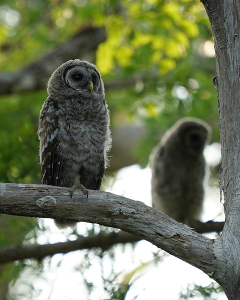 juvenile Barred Owls