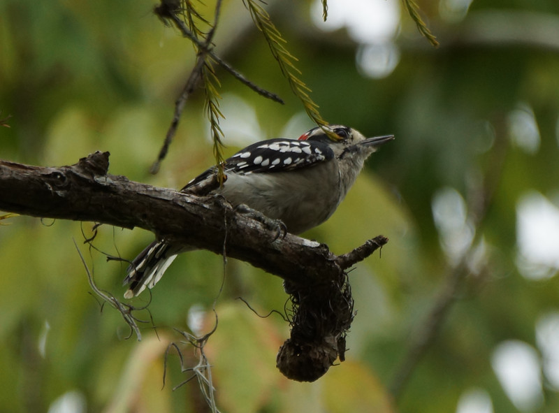 Downy Woodpecker in cypress
