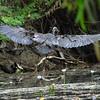 Great Billed Heron_East Aligator River_Kakadu